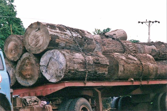 Pine Timber Exported